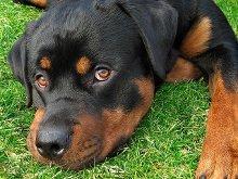 Cyclosporine Eye Drops For Dogs Pannus