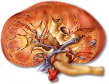 kidneycat